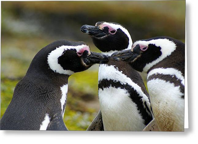You May Kiss The Bride - Penguins Greeting Card by DerekTXFactor Creative