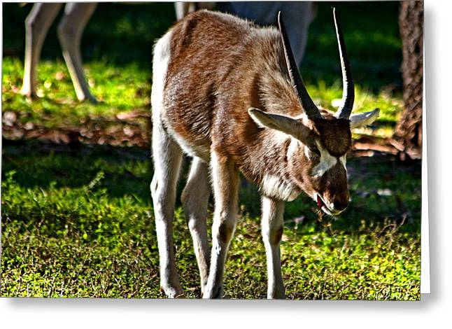 Youngster Addax Greeting Card
