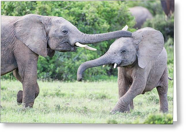 Young African Elephants Playing Greeting Card