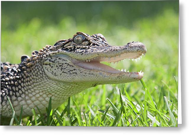 Young Alligator With Mouth Open Greeting Card by Piperanne Worcester
