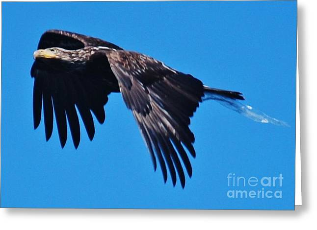 Young Bald Eagle Greeting Card by William Wyckoff