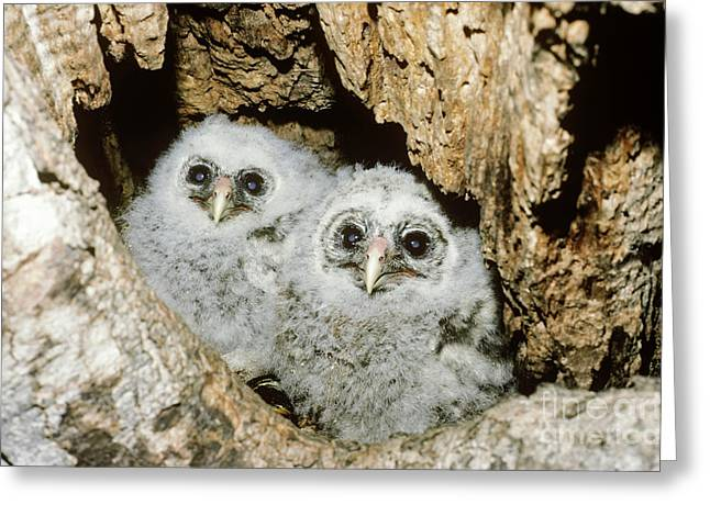 Young Barred Owls In Nest Snag Greeting Card by Jim Zipp