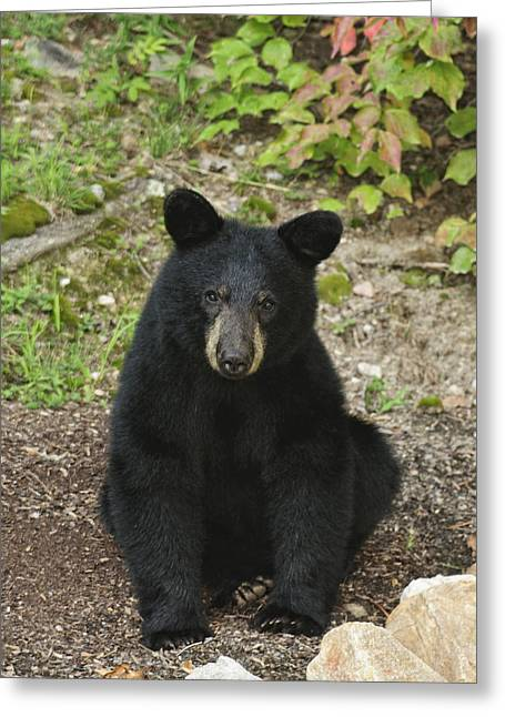 Young Bear 1 Greeting Card
