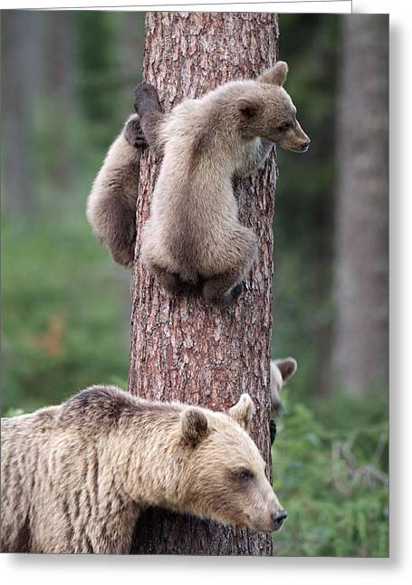 Young Bears Clinging To Tree Greeting Card by John Daniels