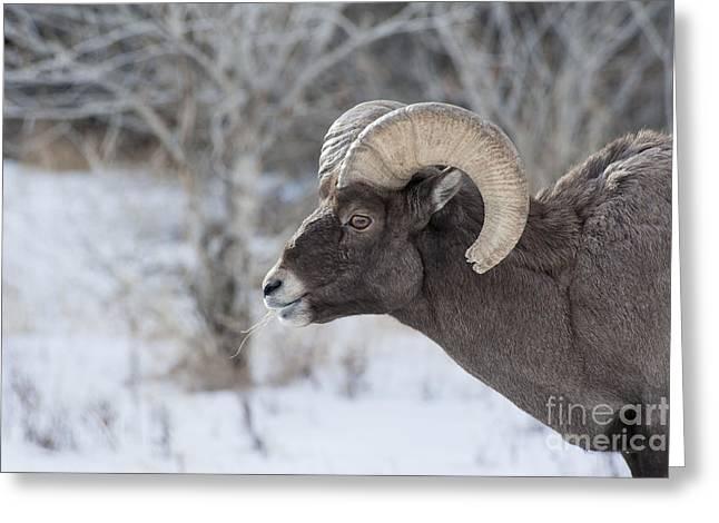 Young Big Horn Ram Greeting Card by Bob Dowling