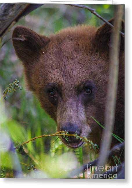 Young Black Bear Greeting Card by Mitch Shindelbower
