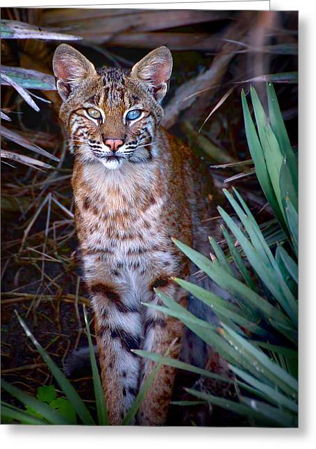 Young Bobcat Greeting Card by Mark Andrew Thomas