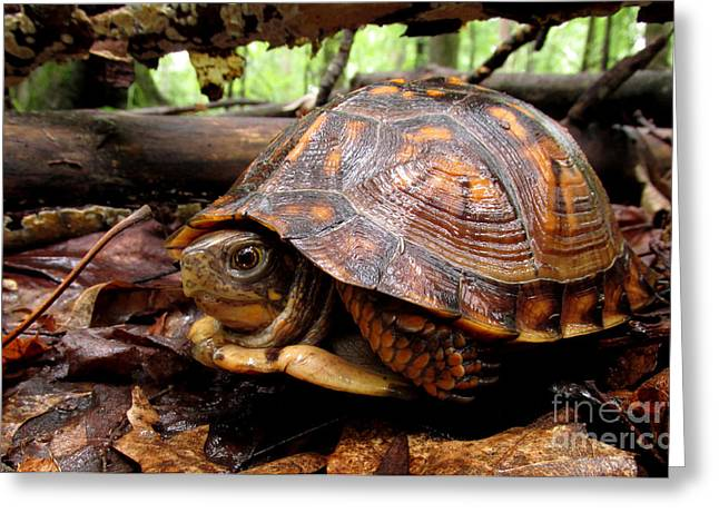 Young Brown Box Turtle Greeting Card by Joshua Bales
