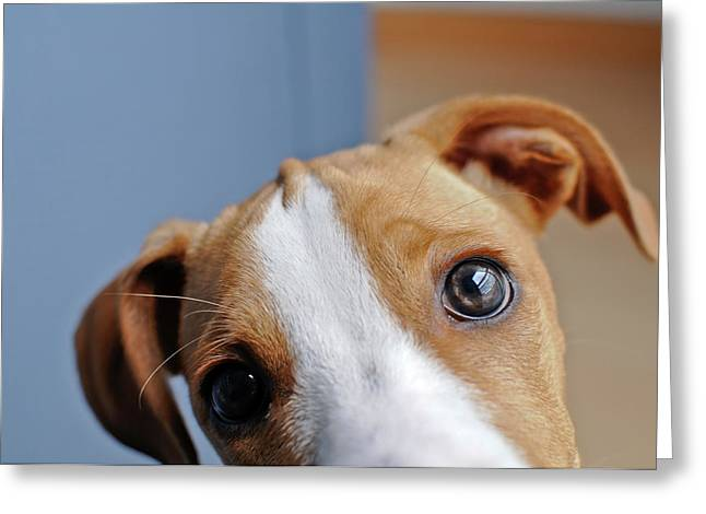 Young Brown Dog At Home Greeting Card