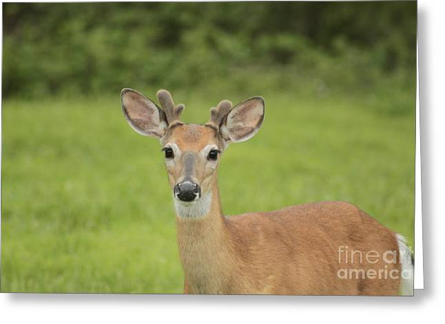 Young Buck With Velvety Antlers Greeting Card by Jim Lepard