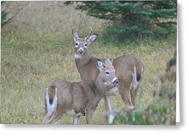 Young Bucks Greeting Card by Sandra Updyke