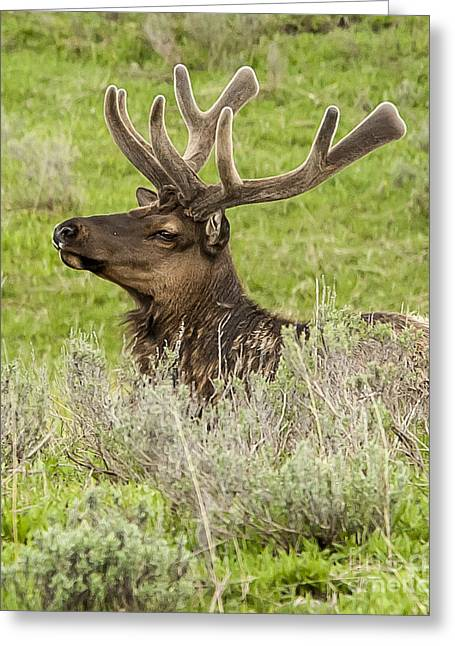 Young Bull Elk Greeting Card by Bob Dowling