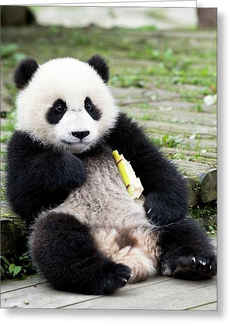 Young Captive Giant Panda Eating Bamboo Greeting Card by Tony Camacho