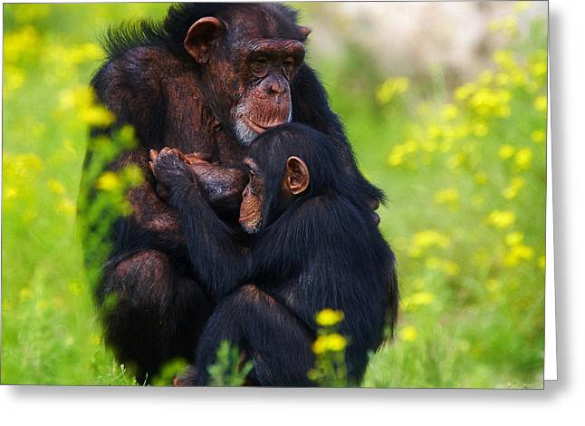 Young Chimpanzee With Adult - II Greeting Card