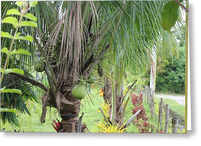Young Coconut Tree Greeting Card by Cyril Maza