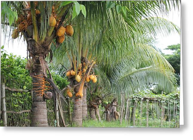 Young Coconut Trees Greeting Card by Cyril Maza