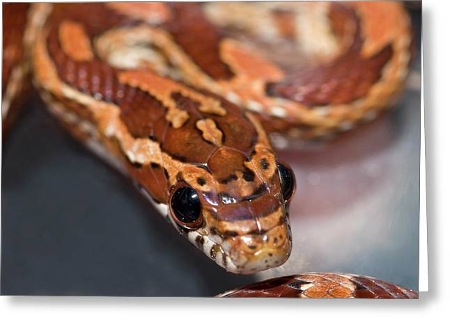 Young Corn Snake Greeting Card