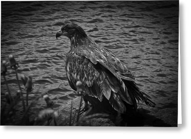 Greeting Card featuring the photograph Young Eagle Bw by Timothy Latta