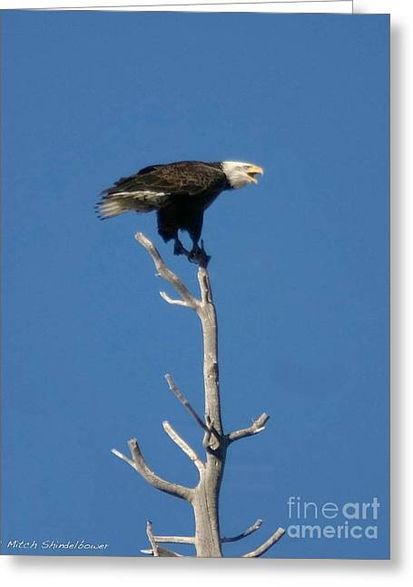 Greeting Card featuring the photograph Young Eagle by Mitch Shindelbower