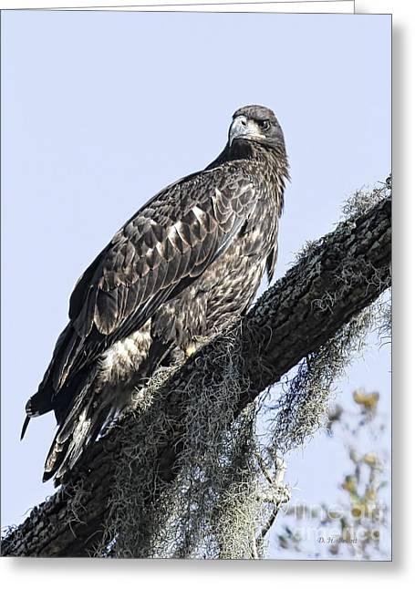 Young Eagle Pose Greeting Card by Deborah Benoit
