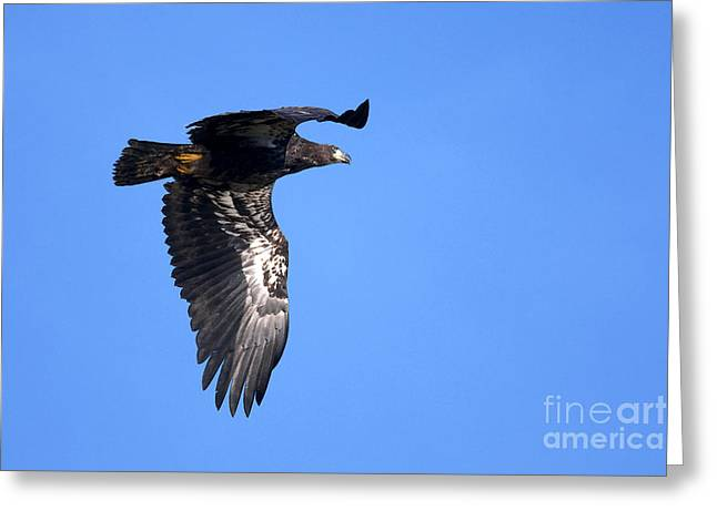 Young Eagle Greeting Card by Sharon Talson