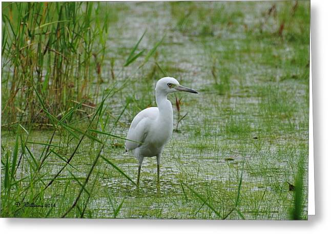 Juvenile Little Blue Heron At Willow Pond Greeting Card