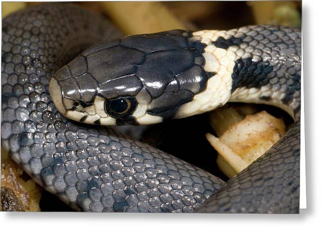 Young Grass Snake Greeting Card