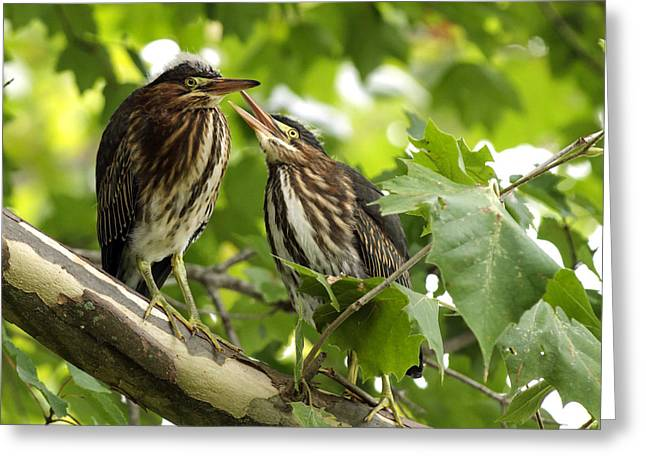 Greeting Card featuring the photograph Young Green Herons by David Lester
