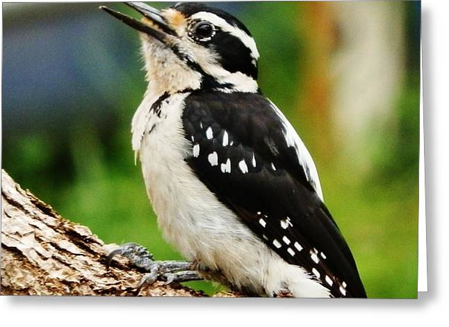 Greeting Card featuring the photograph Young Hairy Woodpecker by VLee Watson