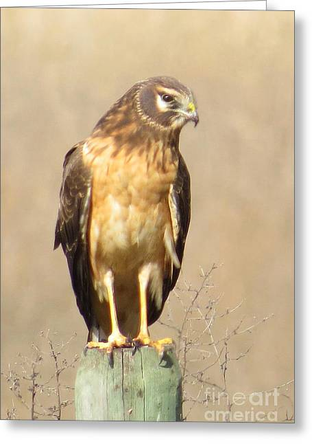 Young Harrier Greeting Card by Frank Townsley