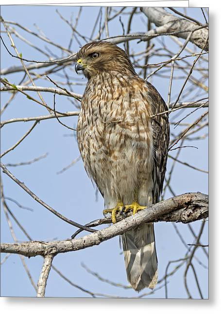 Young Hawk Greeting Card by Loree Johnson