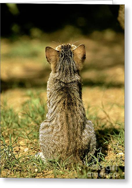 Young House Cat Greeting Card by Christian Grzimek/Okapia