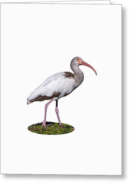 Greeting Card featuring the photograph Young Ibis Gazing Upwards by John M Bailey