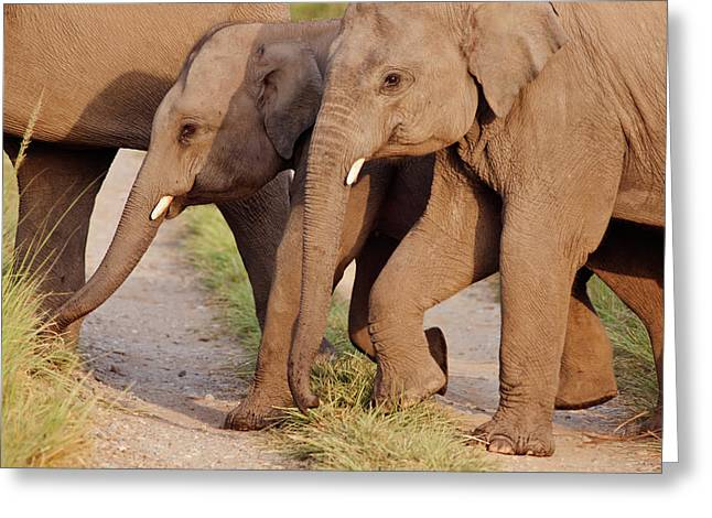 Young Indian Asian Elephants (tuskers Greeting Card by Jagdeep Rajput