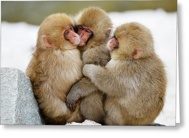 Young Japanese Macaques Greeting Card