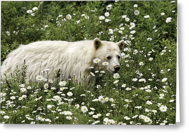 Young Kermode In Daisies Greeting Card by Lisa Hufnagel