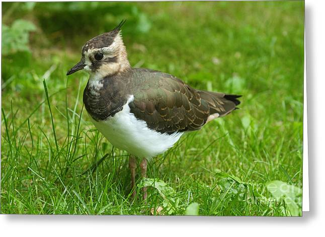 Young Lapwing Greeting Card by Helmut Pieper
