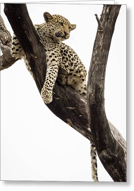 Young Leopard Panthera Pardus In Tree Greeting Card by Panoramic Images