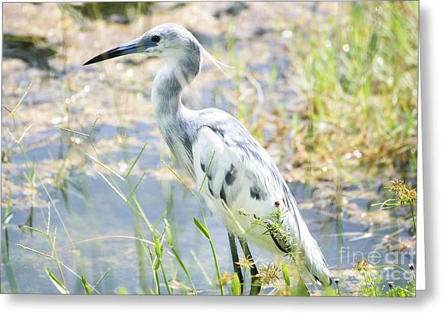 Young Little Blue Heron Greeting Card