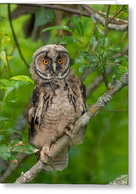 Young Long-eared Owl Greeting Card by Janne Mankinen