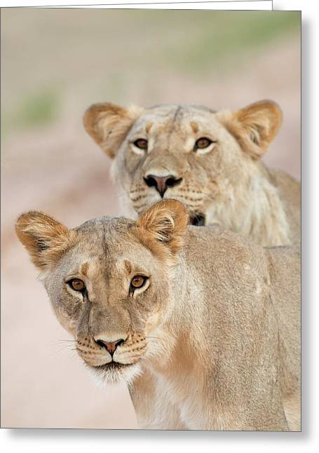Young Male Lions Without Manes Greeting Card by Tony Camacho