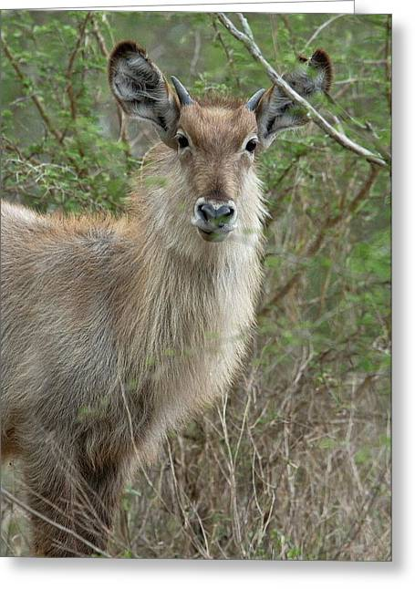 Young Male Waterbuck Greeting Card by Bob Gibbons