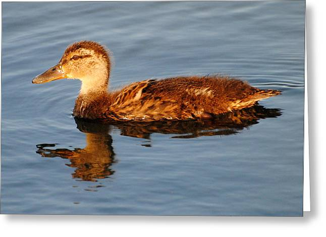 Young Mallard Hen At Ocracoke Greeting Card