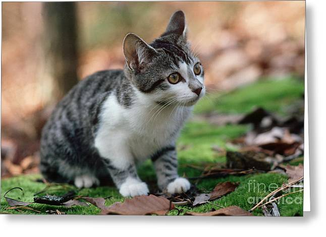 Young Manx Cat Greeting Card