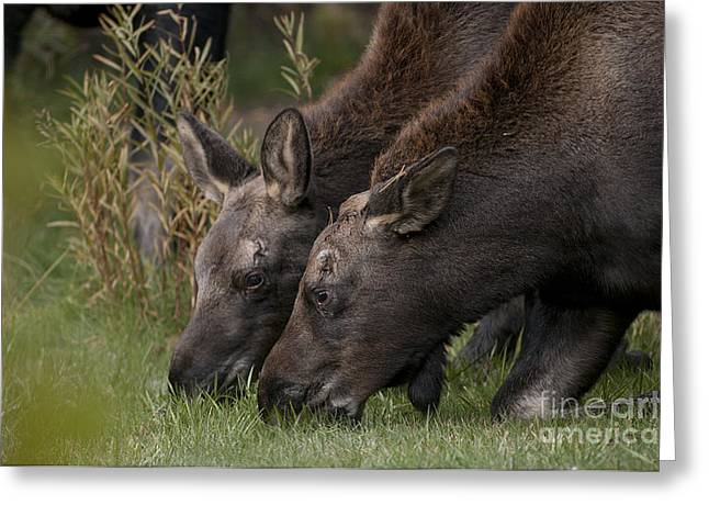 Young Moose Greeting Card by Earl Nelson