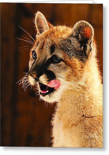 Young Mountain Lion Greeting Card