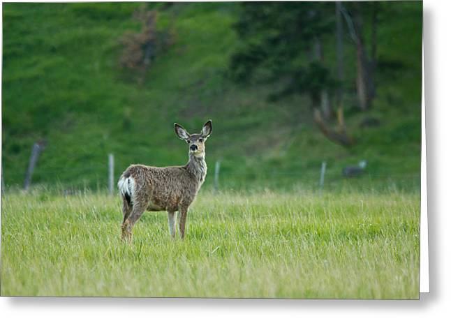 Young Mule Deer Greeting Card by Eti Reid