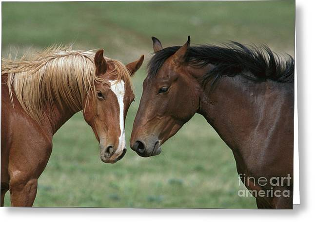 Young Mustang Bachelor Stallions Greeting Card