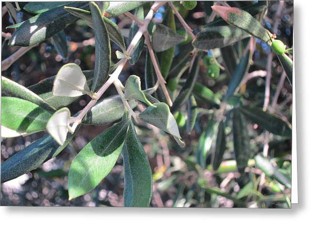 Young Olives Greeting Card by Pema Hou