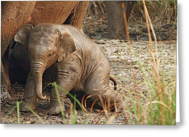 Young One Of Indian Elephant Greeting Card